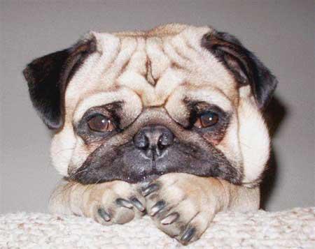 pug-cute