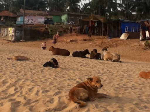 Cows and Dogs on Anjuna Beach, Goa