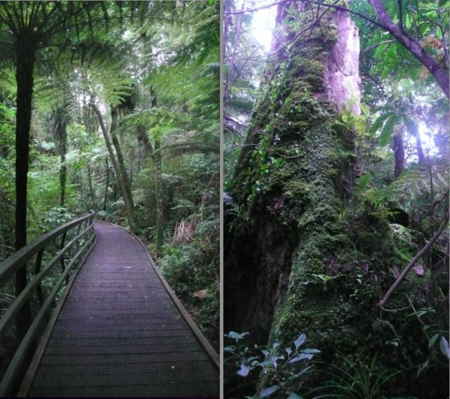 kapeti forest kauri trees