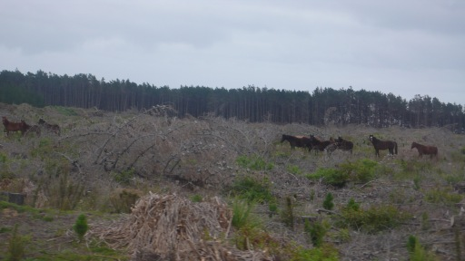 Cape Reinga Wild Horses